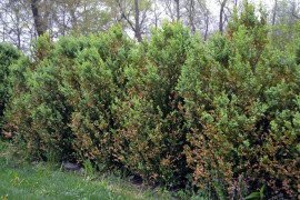 Damage to a row of boxwoods from boxwood leafminer. Photo: T. Butzler, Penn State