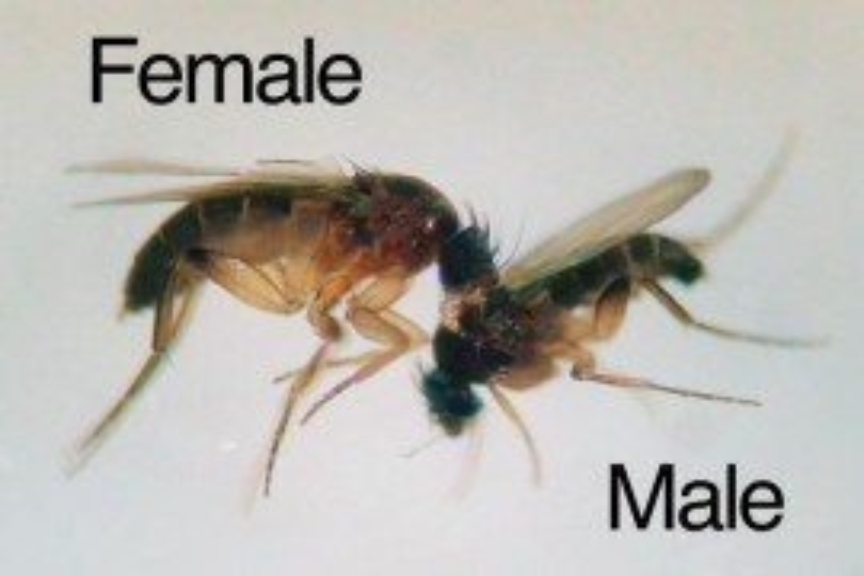 Figure 1. M. halterata female (left), male (right) (Photo by Stefanos Andreadis)