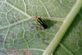 Four-lined plant bug adult. Photo: S. Feather, Penn State