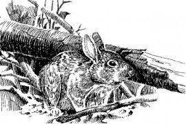 Managing Habitat for Eastern Cottontails