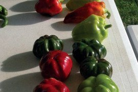 Specialty peppers. Photo: M. D. Orzolek