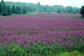 Purple Loosestrife – A Noxious Weed
