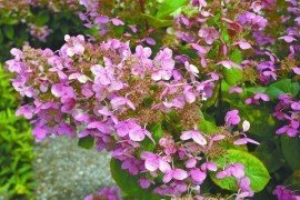 """Firepower — the flower of Hydrangea paniculata """"Bulk,"""" also known as Quick Fire, is one of the earliest to emerge of this species and turns an attractive pinkish-red."""