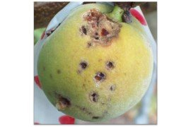 Bacterial spot on peach fruit. Photo by S. Bardsley.