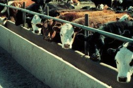 Beef Cattle in feedlot