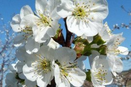 Protect tart cherries during bloom to prevent cherry leaf spot infection.