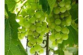 Pest Management in Grapes in Home Fruit Plantings