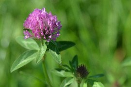 Major Insect Pests of Red Clover in Pennsylvania