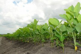 Assessing Soybean Fields for Insect Damage