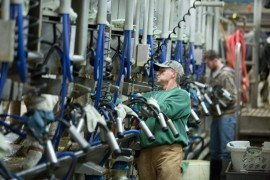 Proper milking management and routine can help to increase milk quality.