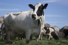 Risk Assessment for Salmonella in Dairy Herds.