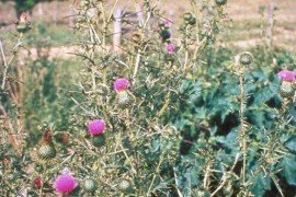 Photo: Loke T. Kok, Virginia Polytechnic Institute and State University, Bugwood.org, bull thistle, Cirsium vulgare