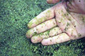 Duckweed and watermeal covering a pond.
