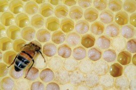 A Field Guide to Honey Bees and Their Maladies