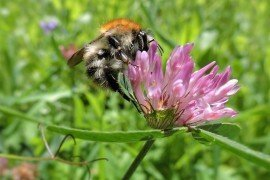 Using Flowering Cover Crops for Native Pollinating Bee Conservation