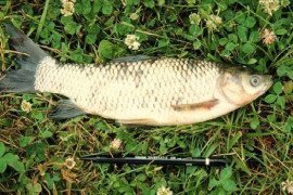 Triploid grass carp are one potential management strategy for aquatic plants in your pond