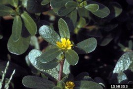 Photo: Ohio State Weed Lab Archive, The Ohio State University, Bugwood.org common purslane Portulaca oleracea