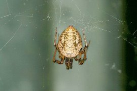 Parasteatoda tepidariorum female. Photo by Steven Jacobs, Penn State Extension