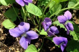 Consider including violets in landscapes, or just leaving them where they are doing well. Photo: Kathleen Salisbury