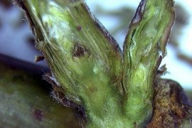 Small Fruit Cold Hardiness - Winter Injury in Brambles