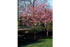 Eastern redbud – Cercis canadensis – is small, graceful tree native to the eastern and central United States.