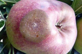 Tree Fruit Diseases - Managing Pre- and Postharvest Rots