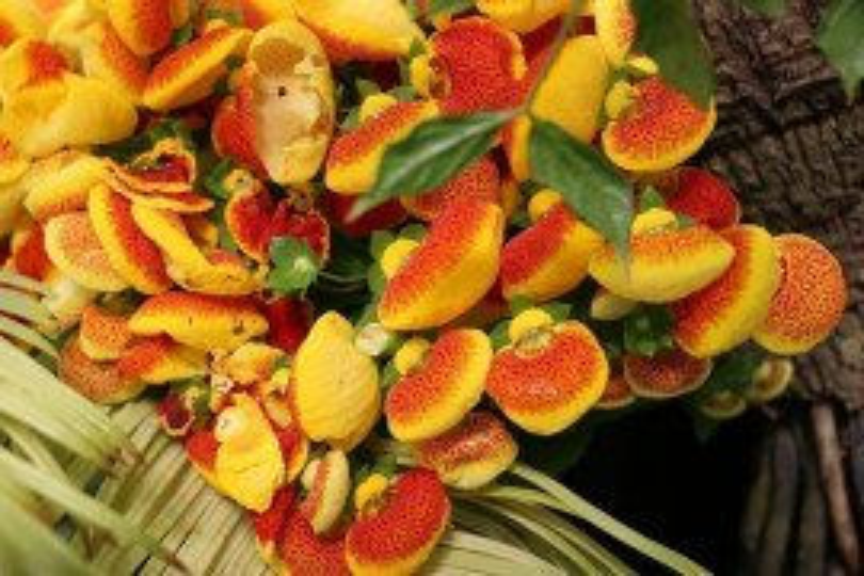 Calceolaria Diseases