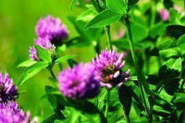 Red clover can be used as a cover crop to suppress weeds