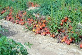 Processing tomatoes in the field. Photo: Tom Butzler