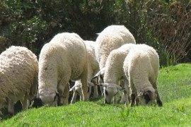 A few simple steps will help these lambs, and their mothers, get through weaning with a minimum of stress.