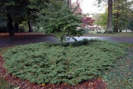The arching branches of Microbiota decussata can act as an attractive groundcover in this landscape around a Japanese maple. Photo: Mike Masiuk