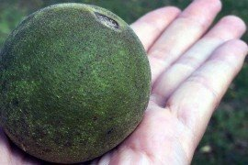 Black walnut fruit. Photo: K. Salisbury, Penn State
