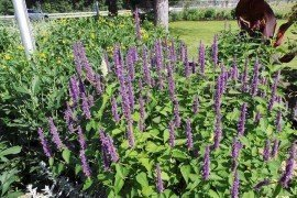 Anise Hyssop (Agastache foeniculum): Perennial Photo, Sandy Feather
