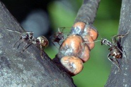 Carpenter ants associated with tupliptree scale are attracted by the abundance of honeydew.