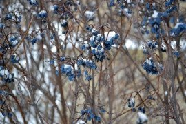 A fresh snowfall shows great contrast between the white snow and the blue, shrunken fruit of Viburnum nudum 'Winterthur'.