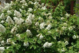 Oakleaf hydrangea in full bloom. Notice the shape of the leaves. Photo: Tom Butzler