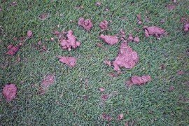 Close up of earthworm casts on golf course turf. Photo: Pete Landschoot