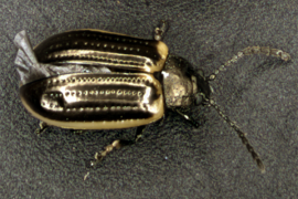 Yellowmargined leaf beetle (YMLB) adult. Photo: Michael Skvarla, Penn State