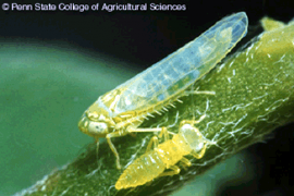 "The potato leafhopper, Empoasca fabae, is a pest that is easy to overlook until the damage - called ""hopperburn"" - ""burns"" you. Photo: Penn State College of Agriculture"
