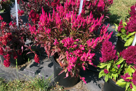 Celosia Kelos Atomic Neon Pink——Beekenkamp Photo: Sinclair Adam, Penn State