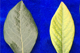 Normal (left) and iron-deficient (right) blueberry leaves. Photo: Kathy Demchak, Penn State