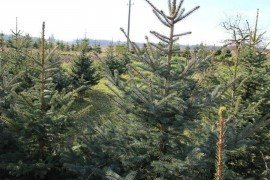 Christmas Tree Production
