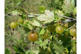 Pest Management in Gooseberries and Currants in Home Fruit Plantings