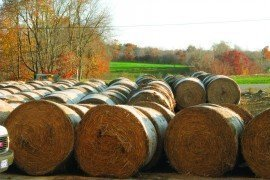 Baled switchgrass stored in a field