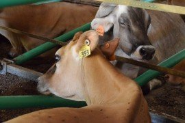 Cyclicity in Dairy Cows: Defining the Issue