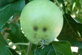 Typical fruit lesions are distinct, almost circular, rough-surfaced, olive-green spots up to ¾ inch in diameter. Heavily infected fruits are usually misshapen and may crack and drop prematurely. Photo by K. Peter.