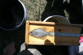 A crappie bass from a small pond.