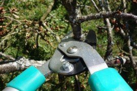 Pruning and Training Home Fruit Trees to an Open Center