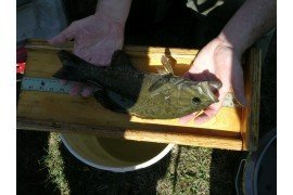 Measuring a largemouth bass from a pond.