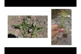 Herbicide Resistance Pigweed 1: Identification